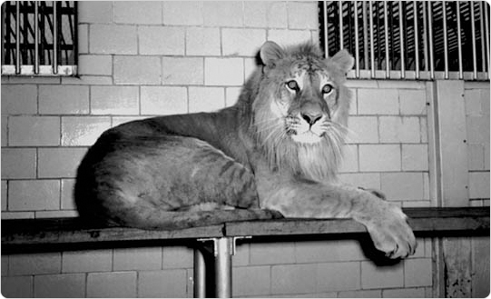 Charles the Tiglon in the Central Park Zoo, May 7, 1942. Courtesy of the Parks Photo Archives, Neg. 21480.