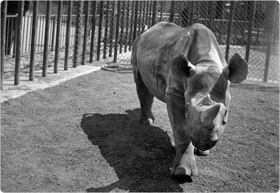 A rhinoceros approaches Parks photographer Max Ulrich as he snaps a photograph, May 4, 1937. Eventually, larger animals were removed from the zoo or given more space. Courtesy of the Parks Photo Archive, Neg. 11569.