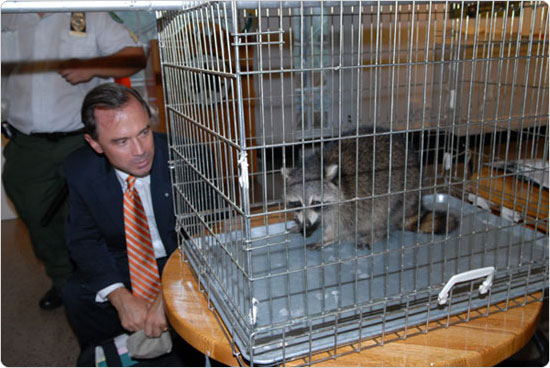 Commissioner Adrian Benepe and Rascal the Raccoon face off in the Arsenal Gallery, September 26, 2007. Photo by Malcolm Pinckney.