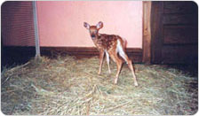 The rescued fawn found in Forest Park, June 2000.