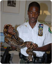 Urban Park Ranger Rakeem Taylor carefully handles the reptilian tourist dubbed ?Rocky Bal-boa,? September 6, 2007. Photo by Malcolm Pinckney.