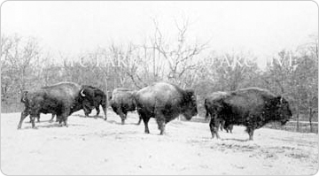 A herd of buffalo in Bronx Park, circa 1902. From the City of New York Annual Report for the Year of 1902.