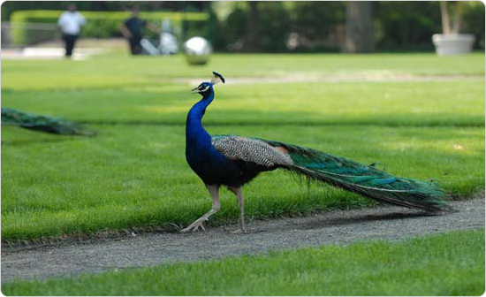 A peacock in Astor Court at the Bronx Zoo, June 1, 2007. Photo: Daniel Avila.