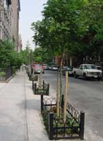 Caring For Street Trees And Greenstreets Nyc Parks