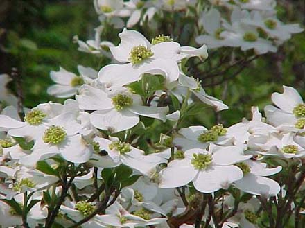 Picture Dogwood Flower on Staten Island Bloom Guide   Parks In Bloom   Nyc Parks