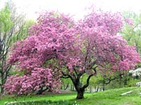 Flowering Pink Crabapple tree