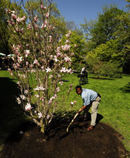 Volunteer tending to a just-planted tree