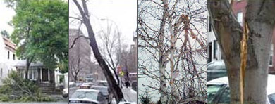 Examples of tree damage