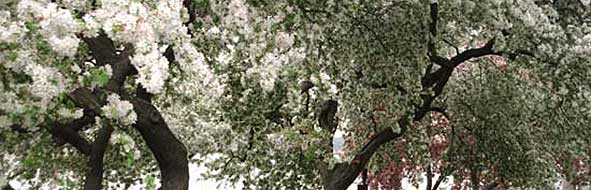 Crabapple Tree in Riverside Park