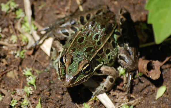 The Atlantic Leopard Frog