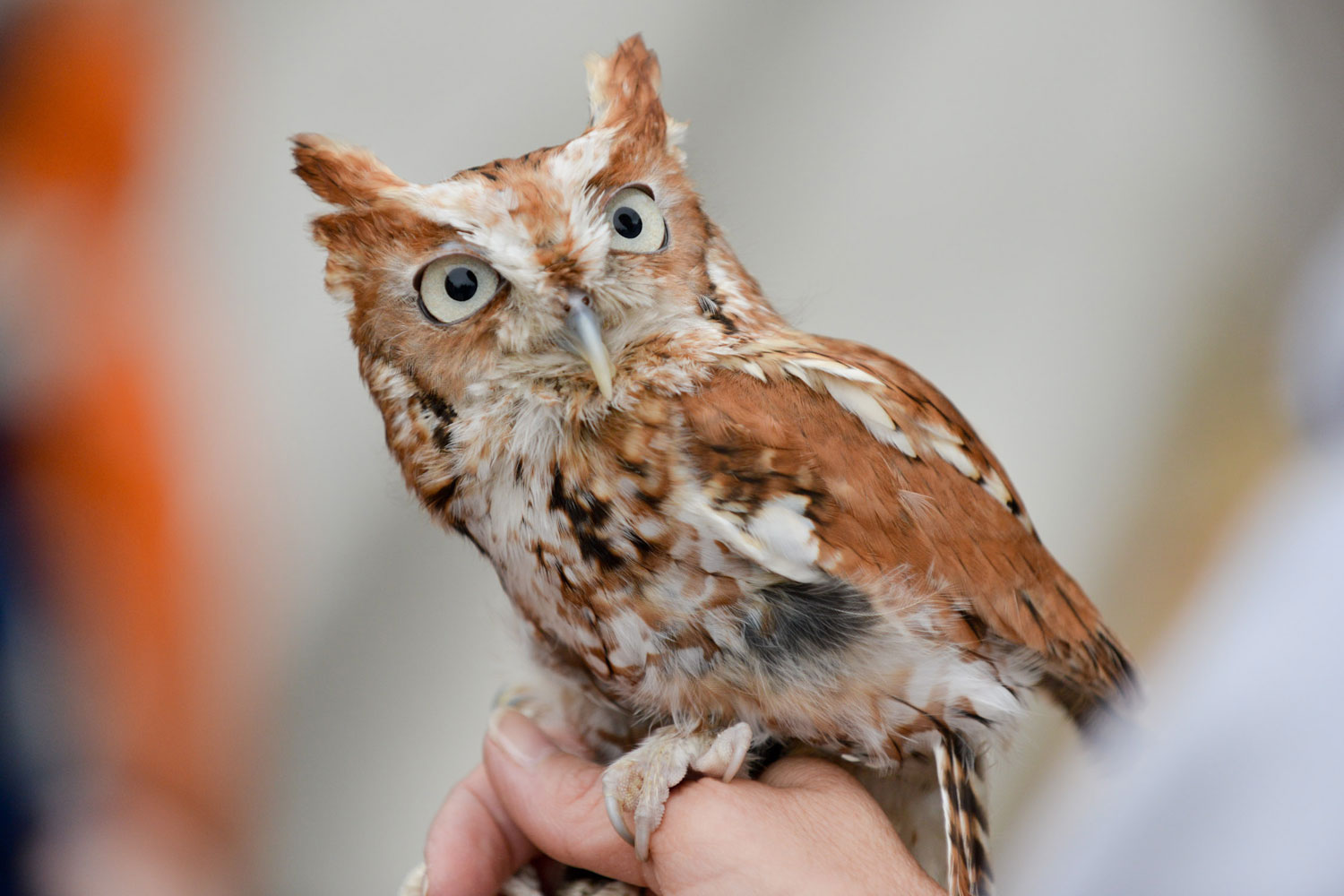 Owl species with pictures