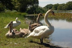 Young and Adult Swans