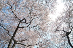 Cherry Blossoms in Central Park