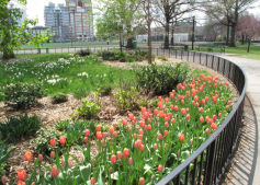 Tulips in Parks