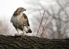 Hawk with Prey in Francis Lewis Park