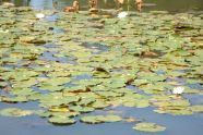 Lily Pads at Baisley Pond