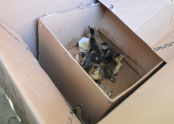 Box of Ducklings