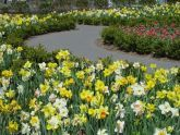 Daffodils in Battery Park