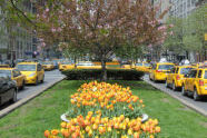 Tulips at the Park Avenue Malls