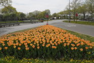 Tulips at World's Fair Marina