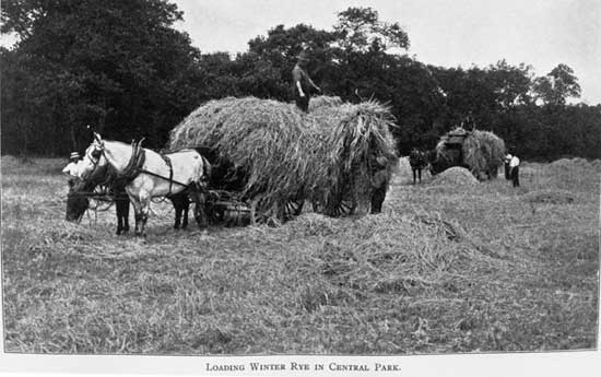 Loading Winter Rye in Central Park