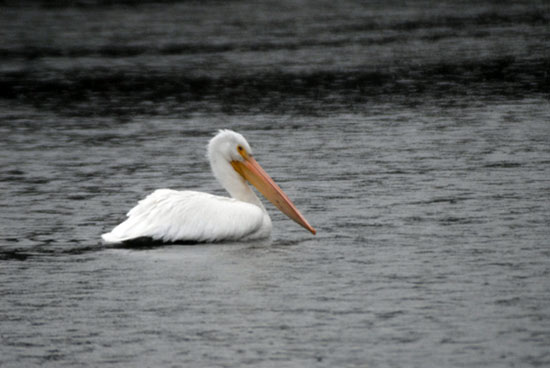 The American White Pelican in Van Cortlandt Park in December