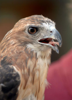 The red-tailed hawk on the day of its release