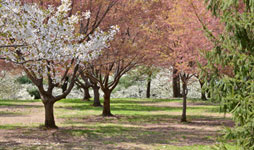 Flowering Trees in NYC Parks