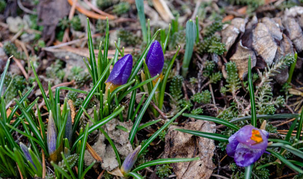 crocus at Wave Hill