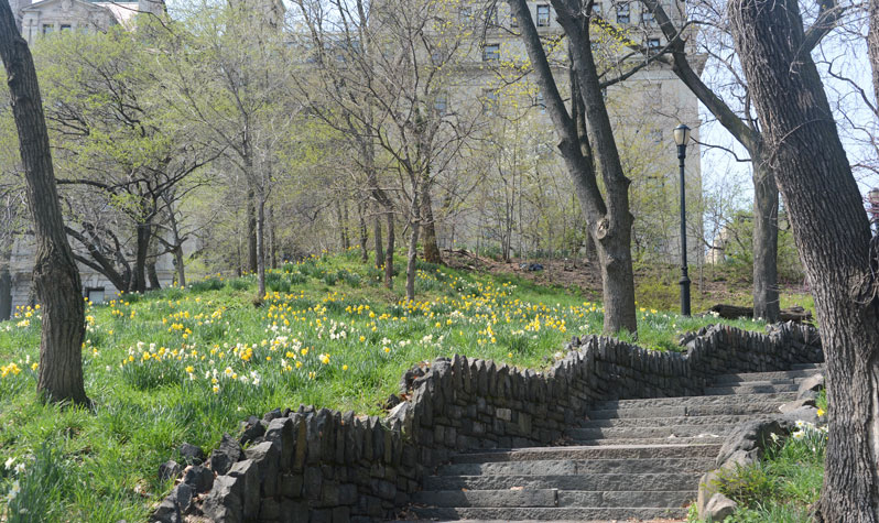 Daffodils in Morningside Park