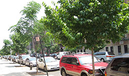 A city block with many newly planted young trees