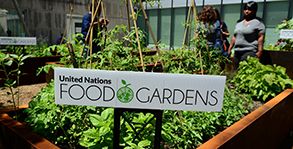 United Nations Food Gardens - Environmental justice in the gardens
