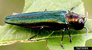 The Emerald Ash Borer is an invasive beetle that can be found on trees.