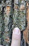 An uppercase D-shaped exit hole in the bark of the tree is sign of an Emerald Ash Borer infestation.