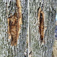 Swirly markings on the inner bark of the tree show signs of Emerald Ash Borer infestation.