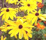 Black-Eyed Susan flowers