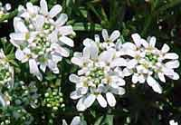 Candytuft blossoms