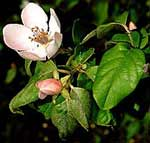 Common Quince Flower