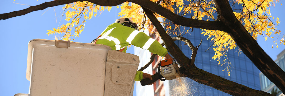 A member of the forestry crew uses a cherry picker to reach up into a tall tree and use a saw to cut down a tree limb.