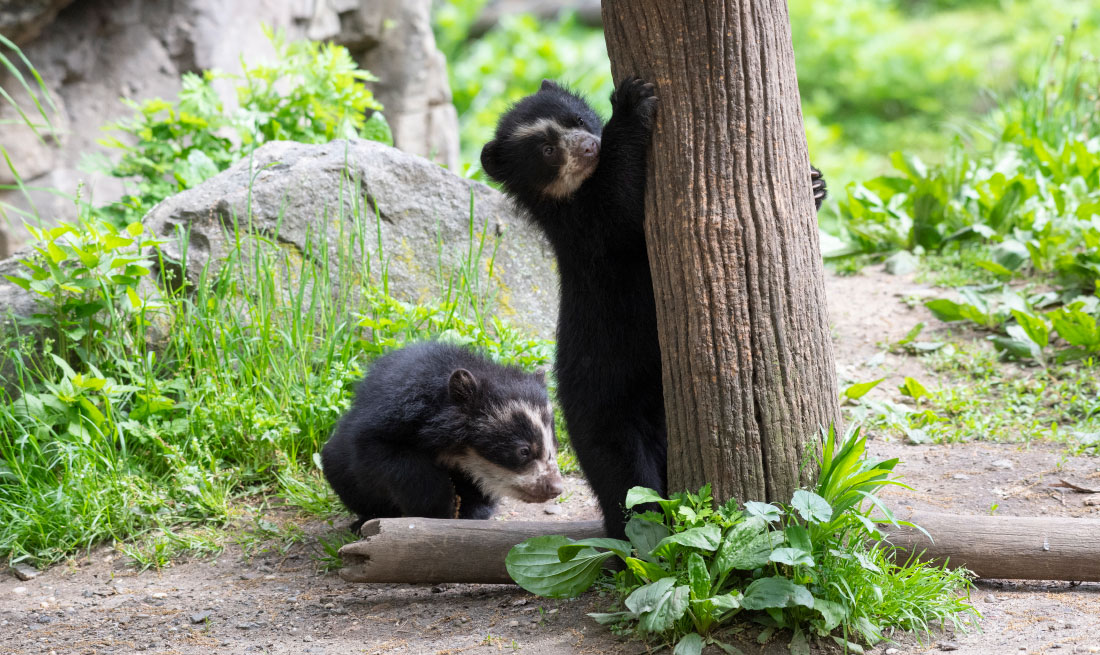Walk over to the Queens Zoo to meet the sea lions, a bald eagle, cows, bison, and these cute baby bears!