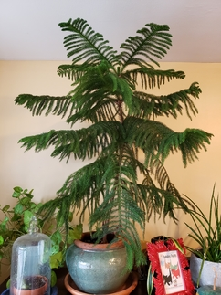 A tall Norfolk Island Pine in a pot stands among two other plants growing in pots on a shelf in a home.