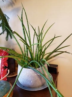 Image of Sansevieria, also known as snake plant, in a pot in a home. It looks like long thick green spikes growing in various directions.