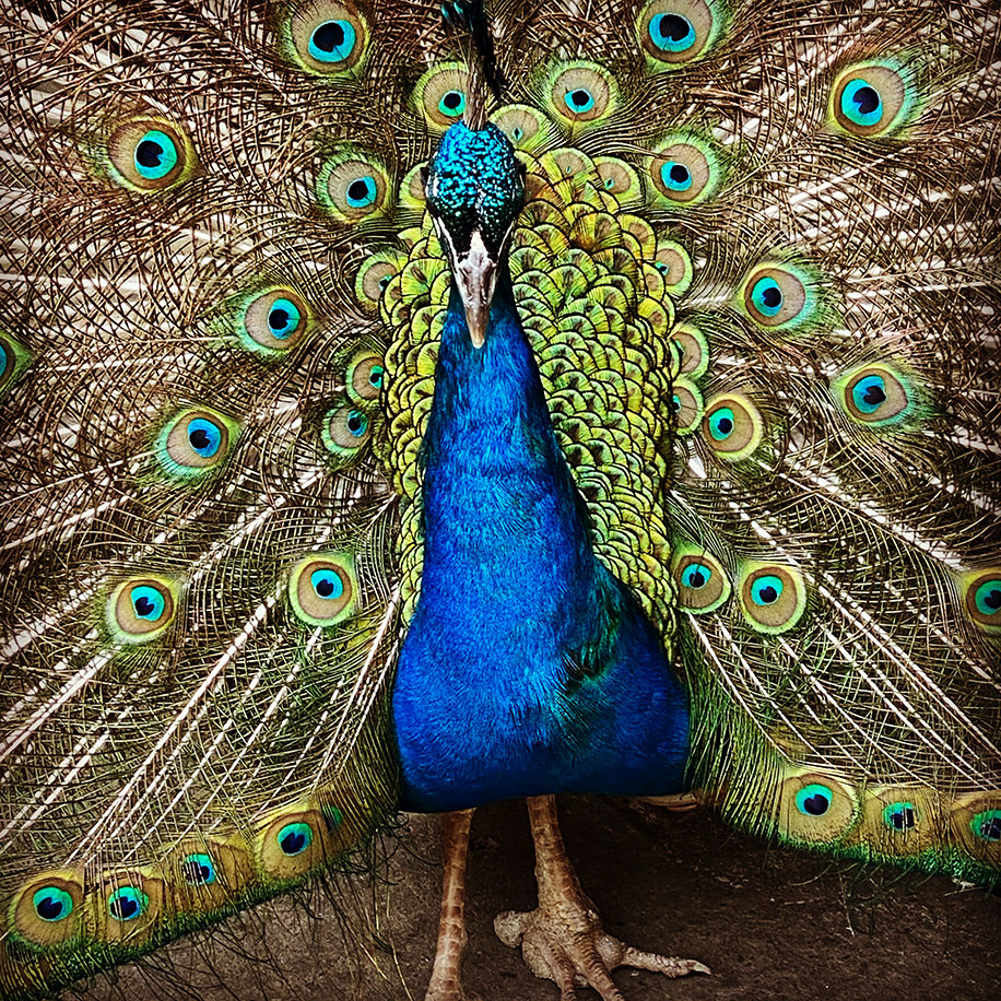 Close up of a blue peacock with its tail spread out wide