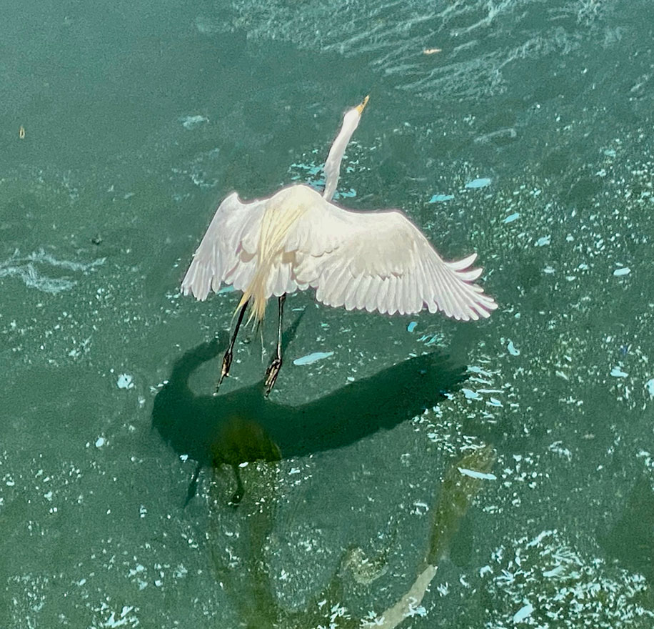 A white egret spreads its wings and soars above the water