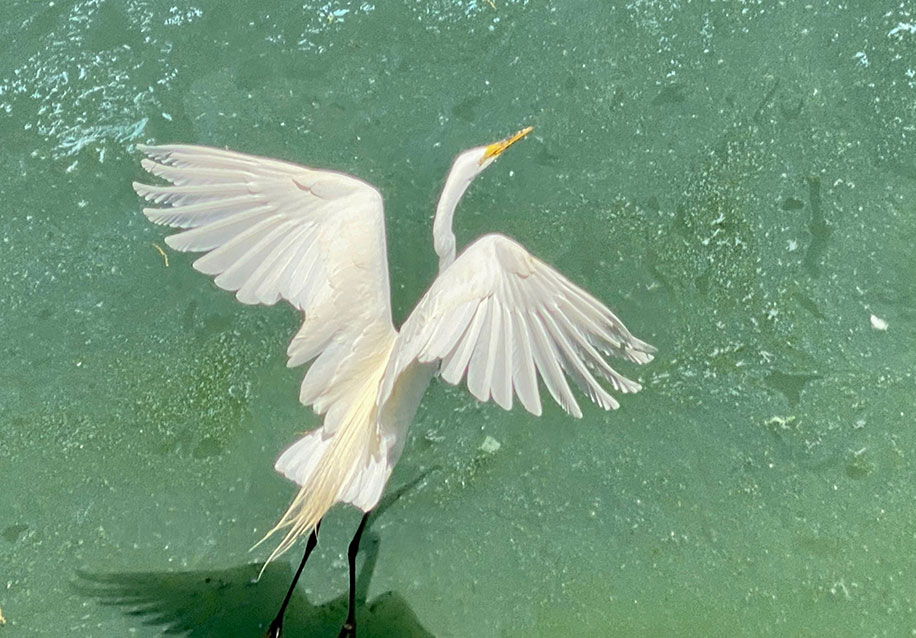 A white egret glides over the water