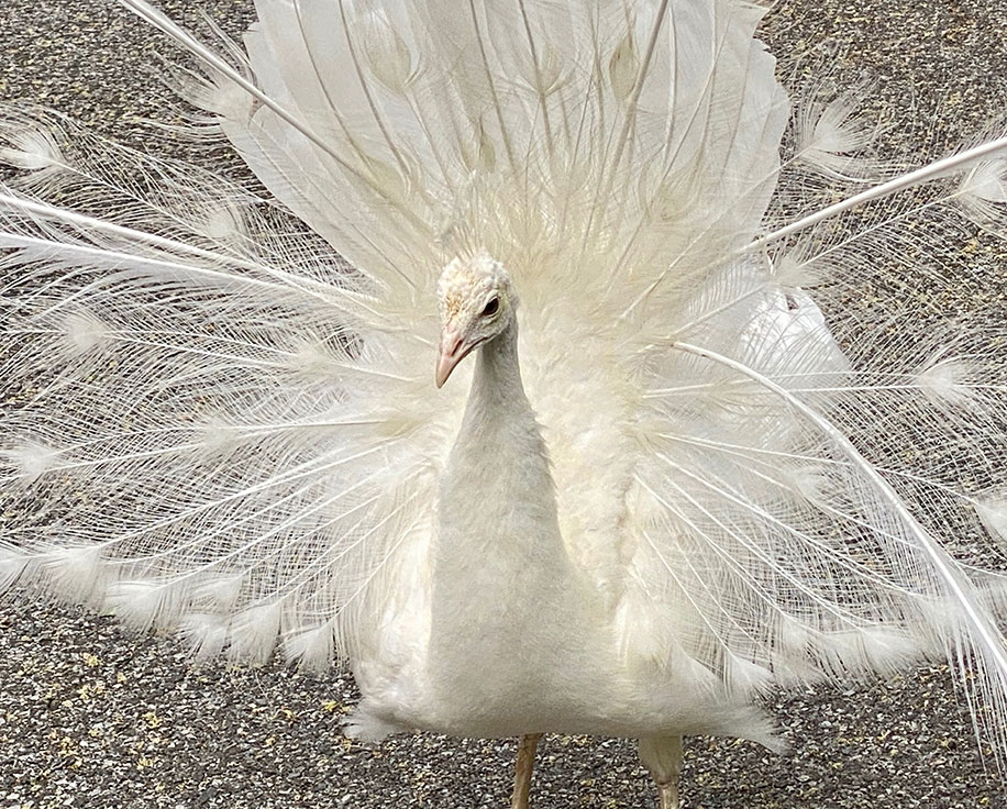 A white peacock with its tail spread wide