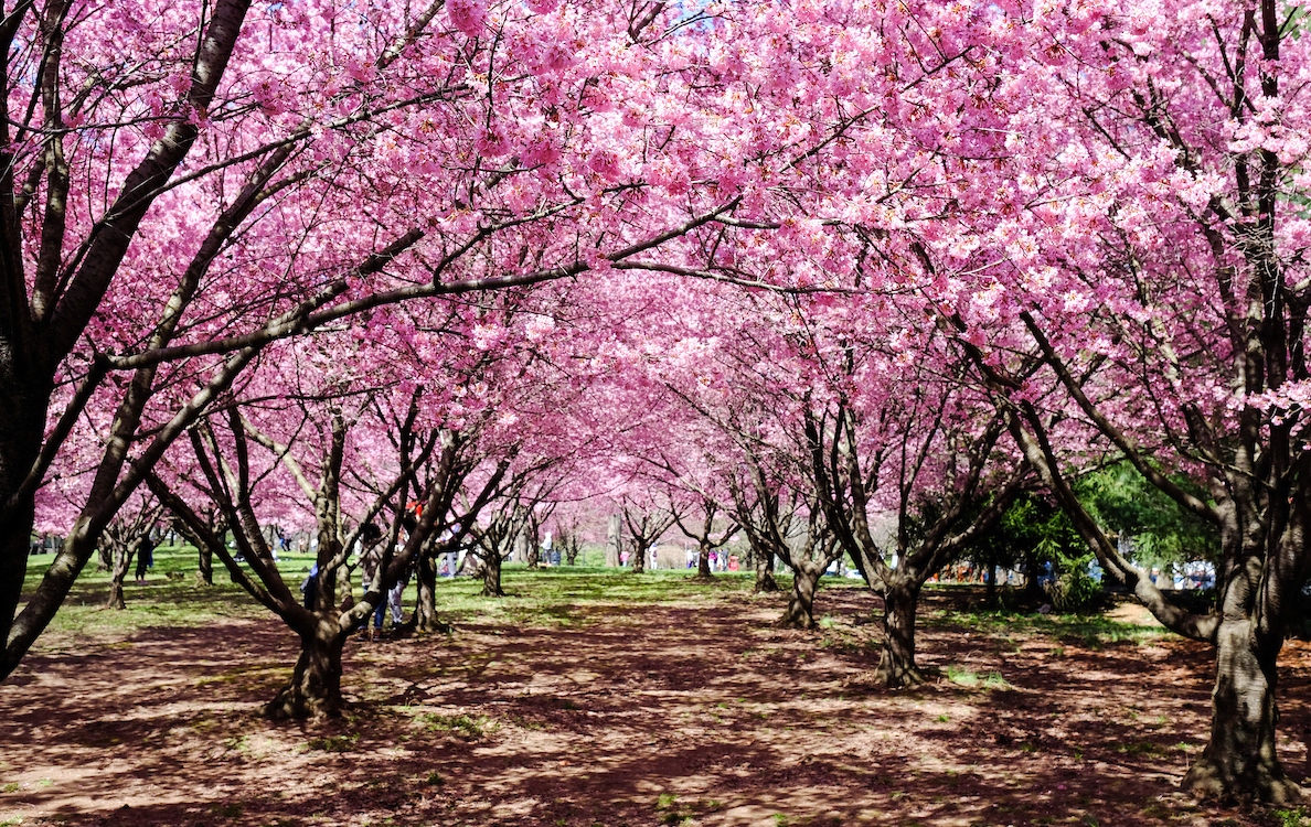 pink cherry blossoms in a grove