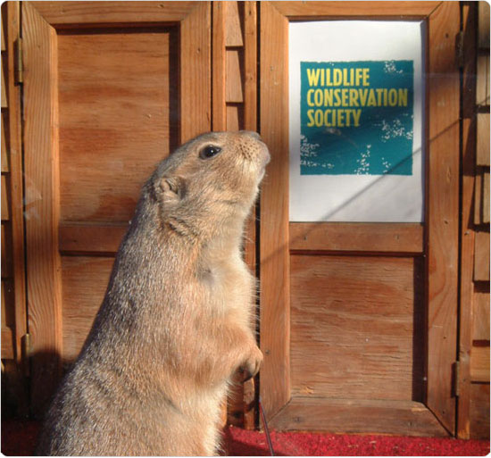 A prairie dog sniffs the air to determine the course of winter, February 2, 2002, Queens Zoo. Photo by Malcolm Pinckney.