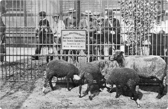 Black sheep on display at the Menagerie in Central Park, circa 1904. Source: 1904 Department of Parks Annual Report.