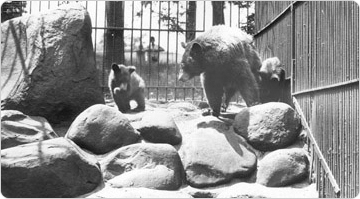 A mother bear and her cubs in the Prospect Park Zoo, July 26, 1929. Photo: Edward Rutter.